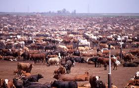 cow-feedlot